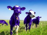 purple cows